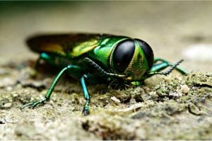 ash borer from ash trees - Highland Tree Service